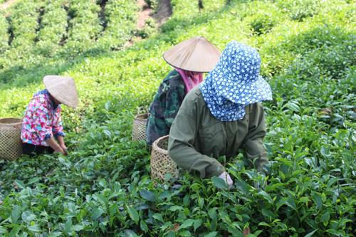 Hầu hết các hộ dân Khe Cốc đều làm chè nhưng chất lượng chè chưa đồng bộ nên thị trường bấp bênh. Ảnh: Xuân Chinh