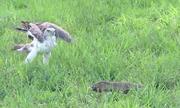 Kỳ đà há miệng dọa đại bàng lùi bước