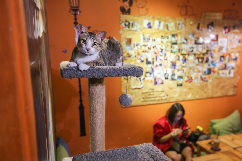 caphemeo 2 1532488567 r 680x0 - Quán cafe nhận nuôi hàng trăm con mèo vô chủ