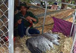 Năm 2018 có 11 cá thể trở về Tràm Chim;trong đó có cụ sếu được gắn vòng đeo chân 20 năm trước quay về và qua đời tại đây. Ảnh: Nguyễn Nga
