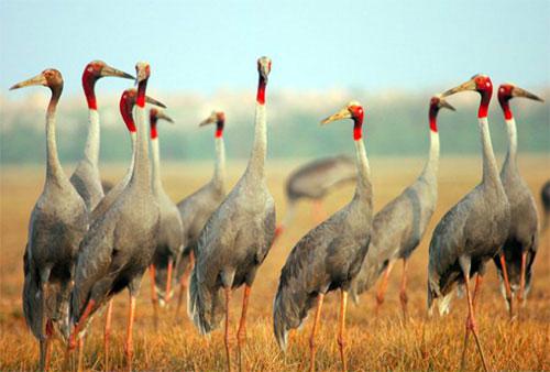 Sếu đầu đỏ không quay về Vườn quốc gia Tràm Chim vì thiếu thức ăn.