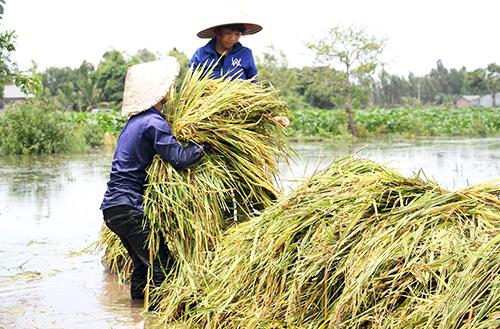 Người dân đầu nguồn miền Tây thu hoạch lúa non chạy lũ. Ảnh: Hoàng Nam.