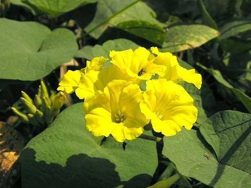 Bình bôi hoa vàng xâm lấn nhiều cánh rừng ở Quảng Bình.