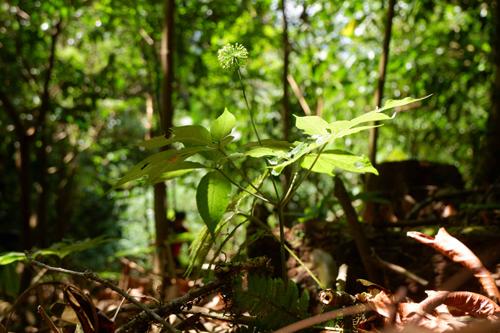Trồng dược liệu trong đó có cây sâm dưới tán rừng đang là một trong những biện pháp bảo vệ rừng tại Quảng Nam. Ảnh: Bizmedia
