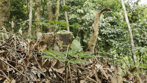 Cây sâm Ngọc Linh sinh trưởng được cần tán rừng già. Ảnh: Bizmedia