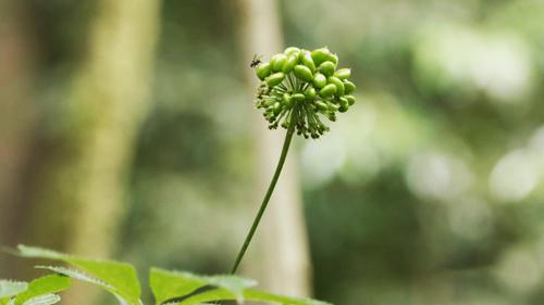 Sâm Ngọc Linh được nhân giống từ các hạt chín chọn lọc. Ảnh: Bizmedia