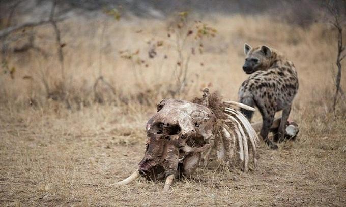 Linh cẩu và kền kền ăn sạch xác voi trong 36 tiếng