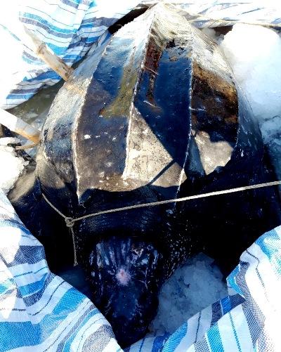 Rùa biển được bảo quản xác ở Lý Sơn. Ảnh: Nguyễn Danh.