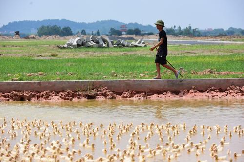 Người dân chăn vịt tại một dự án chậm triển khai của huyện Mê Linh. Ảnh: Giang Huy.