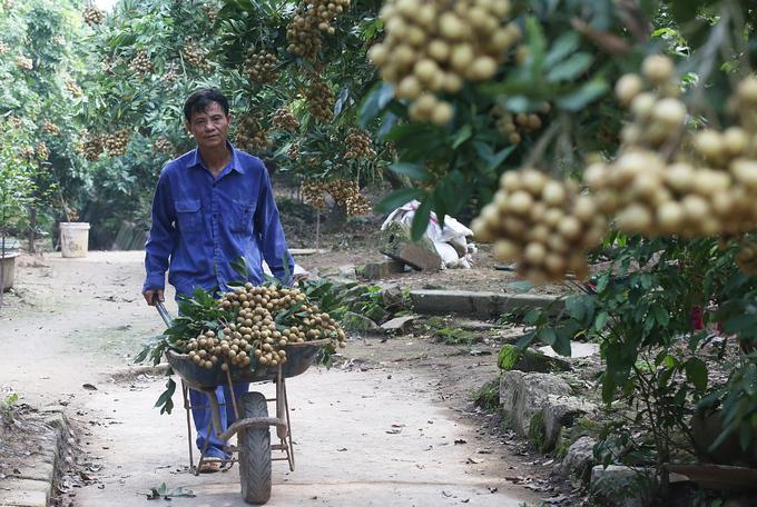 Người dân Hưng Yên vào mùa thu hoạch nhãn