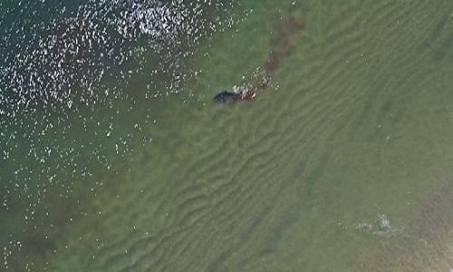Cá mập trắng kéo theo vệt nước đỏ sậm khi ngoạm xác hải cẩu trong miệng. Ảnh: Fox News.