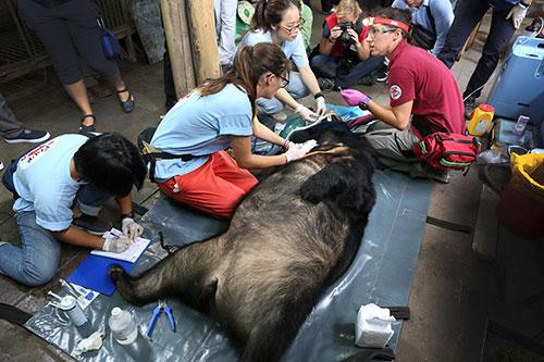 Gấu Hoa Lan đang được bác sĩ thú y thăm khám trước khi đưa về trung tâm cứu hộ. Ảnh: Ngọc Thành.