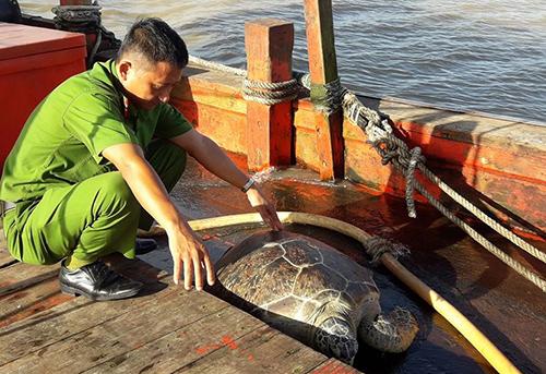 Con rùa biển 60 kgđược thả về môi trường tự nhiên. Ảnh: Phương Thảo.