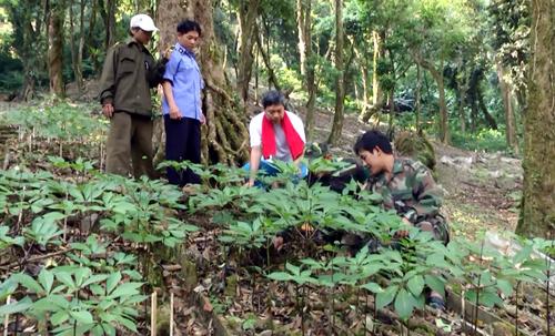 Sâm Ngọc Linh trồng trên đỉnh núi cùng tên, huyện Nam Trà My. Ảnh: Đắc Thành.