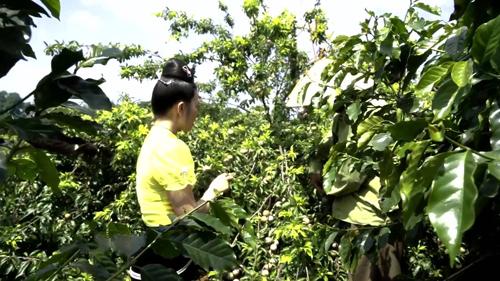 Vườn mận hậu trồng xen với cà phê. Ảnh Bizmedia
