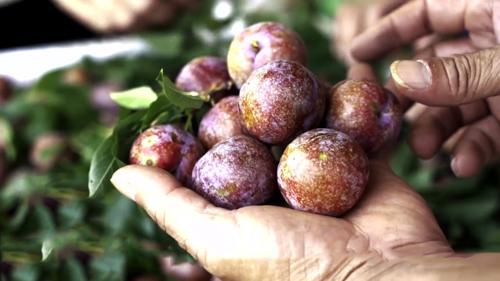 Mận hậu quả to, giòn ngọt thanh vốn là đặc sản nổi tiếng của Sơn La. Ảnh: Bizmedia