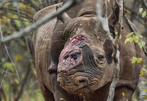 Một con tê giác ở châu Phi bị cắt sừng.