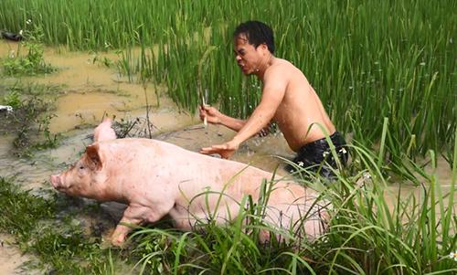 Nhiều con lợn vọt rào phi ra cánh đồng khiến người dân vất vả để bắt lại. Ảnh: Lam Sơn.