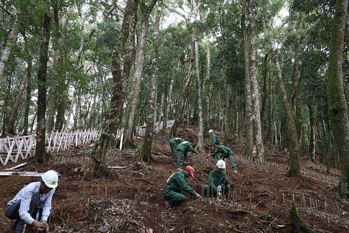 Vườn ươm sâm giống trị giá hàng trăm tỷ trên núi Ngọc Linh