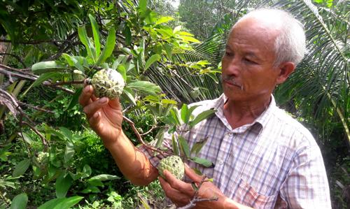 Nhiều nông dân ở Cà Mau đang làm giàu từ mô hình trồng mãng cầu ta. Ảnh: Phúc Hưng.