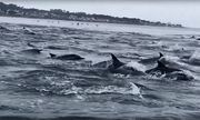 Đàn cá heo nghìn con kéo nhau đi săn mồi