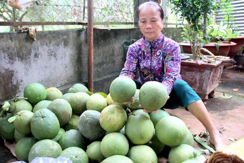 Hàng tạ bưởi da xanh còn non của bà Hạnh bị trộm vứt lại. Ảnh: Nguyễn Khoa