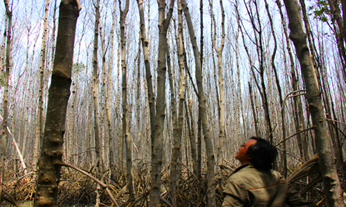 Số diện tích rừng đước chết chưa rõ nguyên nhân. Ảnh: Hoàng Nam
