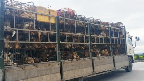 Xe tải chở chó đi tiêu thụ. Ảnh: Nguyễn Hải