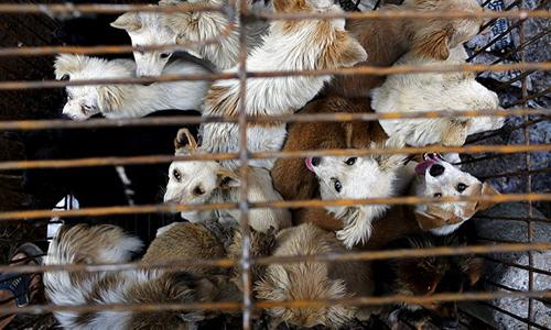 Chó bị nhốt trong lồng tại một khu chợ trước lễ hội thịt chó tại thị trấn Ngọc Lâm, tỉnh Quảng Tây, Trung Quốc. Ảnh: Reuters.