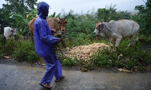 Một nông dân tập hợp gia súc tới nơi an toàn vào hôm 14/9, trướckhi bão Mangkhut đổ bộ thành phố Tuguegarao, tỉnh Cagayan. Ảnh: AFP.