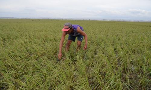 Một nông dân tại thị trấn Alcala, tỉnh Cagayan, Philippines, hôm 16/9 kiểm tra cánh đồng sau khi bão Mangkhut tàn phá địa phương này. Ảnh: AFP.
