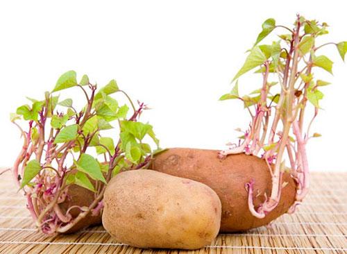 Nhà khoa học khuyến cáo không nên ăn khoai đã mọc mầm. Ảnh: ST.