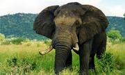Động vật trên cạn lớn nhất thế giới là loài nào?