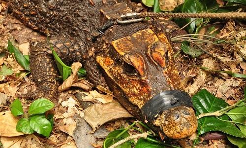 Cá sấu màu cam trải qua quá trình đột biến kéo dài hàng nghìn năm. Ảnh:Olivier Testa.