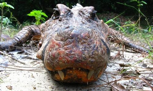 Cá sấu màu cam có phần đầu rộng, mắt kém và cơ thể màu cam. Ảnh:Olivier Testa.