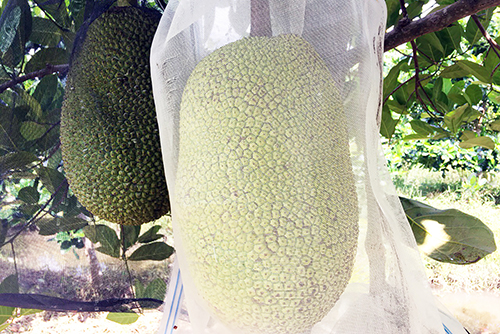 Giá mít Thái cao kỷ lục, nông dân miền Tây thu triệu đồng mỗi trái