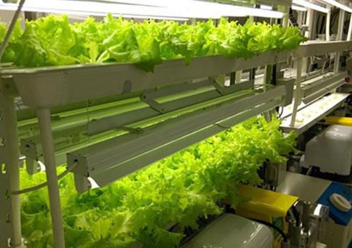 Mô hình trồng rau công nghệ cao tại Trung tâm Hợp tác nông nghiệp thông minh FPT - Fujitsu. Ảnh: FPT.