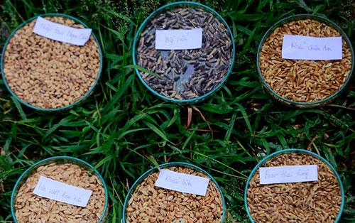 Các giống lúa đặc sản được bảo tồn tạiHọc viện Nông nghiệp Việt Nam. Ảnh: Lê Loan.