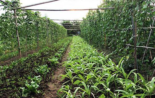 Rau hữu cơ được trồng xen canh. Ảnh: P.L