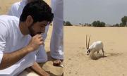 Linh dương mắc lưới được thái tử Dubai giải cứu