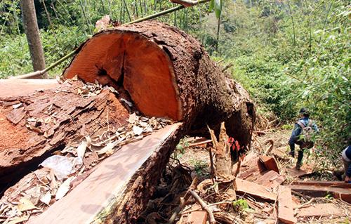 Một cây gỗ lim xanh bị đốn hạ. Ảnh:Đắc Thành.