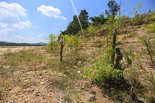Những cây tre bắt đầu phát triển và sau năm năm có sẽ ngăn lũ lụt cướp đất. Ảnh: Đắc Thành.