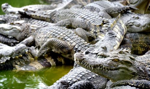 Thu hàng tỷ đồng mỗi năm nhờ trang trại 40.000 con cá sấu