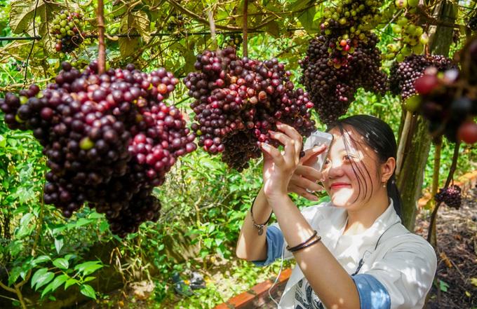 Vườn nho rộng hàng nghìn m2 mở cửa miễn phí ở Tây Ninh