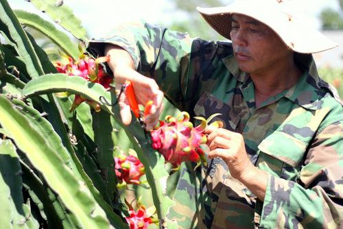 Thương lái mua thanh long ruột đỏ của ông Nguyễn Văn Ba với giá 1.500 đồng - 2.000 đồng mỗi kg. Ảnh: Nguyễn Khoa