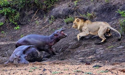 Vì mẹ, hà mã con không ngại đối đầu với sư tử. Ảnh:Hanno Erusmus.