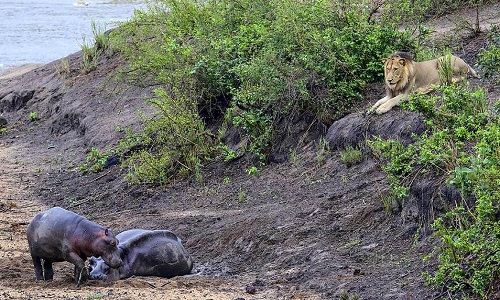 Con sư tử theo dõi hai mẹ con hà mã từ xa. Ảnh:Hanno Erusmus.