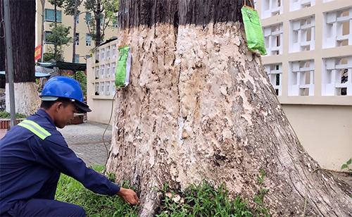 Công nhân cây xanh truyền chất dinh dưỡng trực tiếp cho các cổ thụ suy kiệt. Ảnh:Cửu Long.