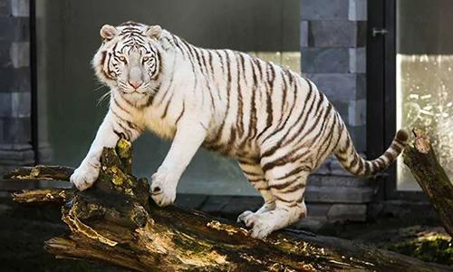 Hổ trắng vồ chết nhân viên vườn thú ở Nhật