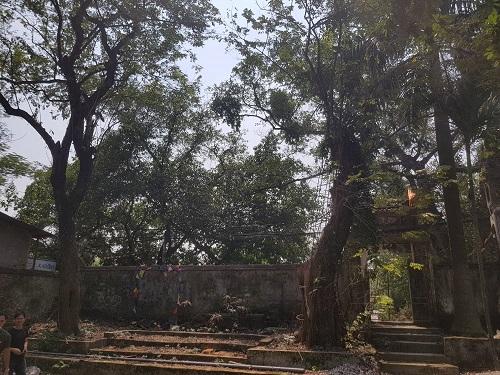 Hai cây sưa trong khuôn viên chùa Phụ Chính. Ảnh: Gia Chính